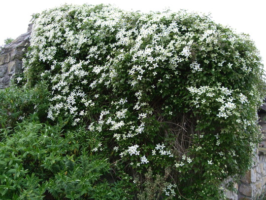 Clematis montana covering the workshop roof and wall. (Clematis montana (Clematis))
