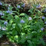 Vir_bluebells_clump_4_12_06_good