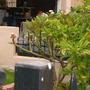 Plumeria rubra 'Celadine' - Celadine Plumeria (Plumeria rubra 'Celadine' - Celadine Plumeria)