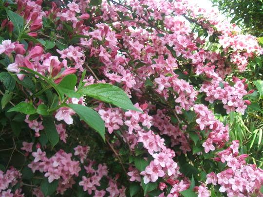 Weigela in bloom