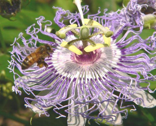Passiflora incarnata with honey bee (Passiflora incarnata (Maypops))