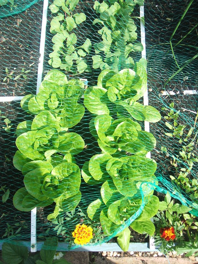 Cos Lettuces in the Square Foot Garden