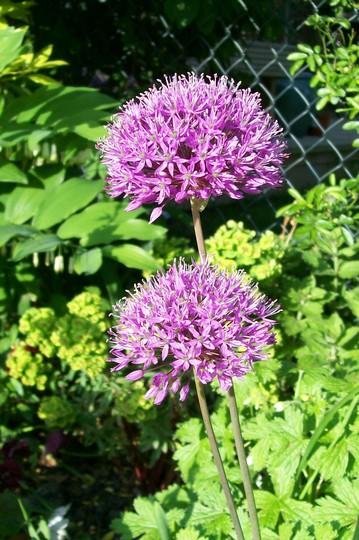 Allium rosenbachianum (Allium rosenbachianum)