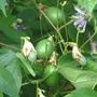 Passionfruit (Passiflora incarnata (Maypops))