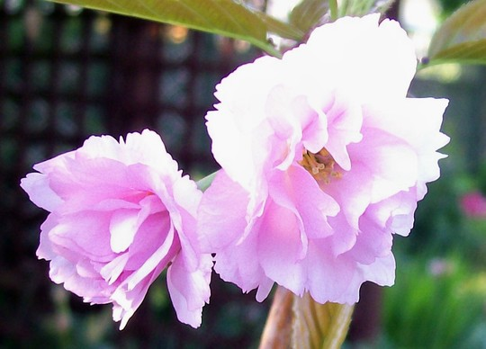 Barbie - Close up (Prunus kanzan)