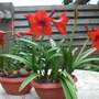 "Amaryllis multiflora ""Lovely Garden"""