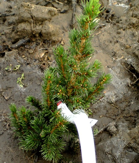 Picea glauca conica. Planted March 14th 2008 (Picea glauca (White spruce))