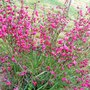 Dark pinky red broom. (Cytisus praecox)