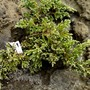 Juniperus not sure?? (Juniperus squamata)