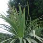 Cordyline_flowering