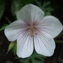 Geranium clarkei 'Kashmir White' (Geranium clarkei)