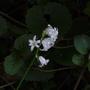 Hyacynthoides_non_scripta_white_14_05_09