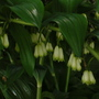 closer up (Polygonatum x hybridum (Common Solomon's seal))