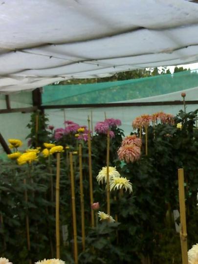 Chrysanths in flowering frame
