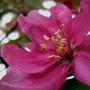 Apple Blossom Time ~ Malus floribunda (Malus floribunda)
