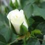 Miniature Rose White Cupido