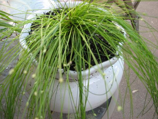 fiber optic grass (isolepis cernua)