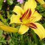 day lily (HEMEROCALLIS)