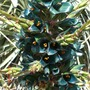 An unusual coloured flower,  (Puya Berteroniana)