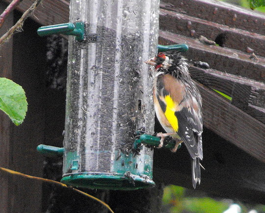 Rain Soaked Gold Finch