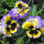 Wet Pansies