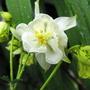 White Aquilegia (Aquilegia bertolonii (Columbine))