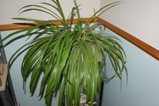 Spider Plant (Chloropytum comosum)