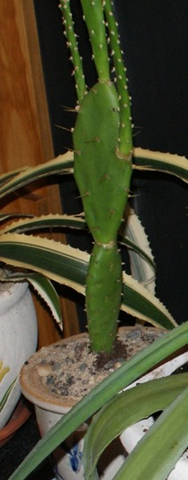Prickly pear cactus from Sardinia (Opuntia compressa (Eastern Prickly Pear))
