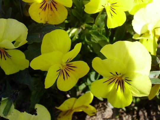 sunny yellow (voila various)