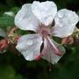 Geranium x cantabrigense 'Biokovo' (Geranium x cantabrigiense (Hardy geranium))