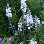 Veronica 'Tissington White' (Veronica 'Tissington White')