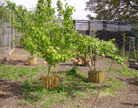Mini orchard is also the large chicken run