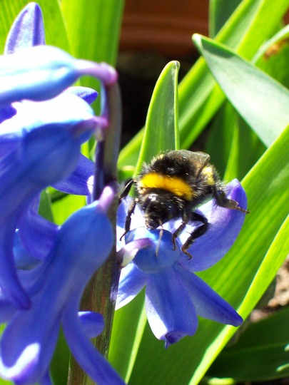 WHITE BOTTOMED  BEE....