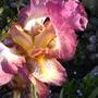 Iris (Iris pallida dalmatica)