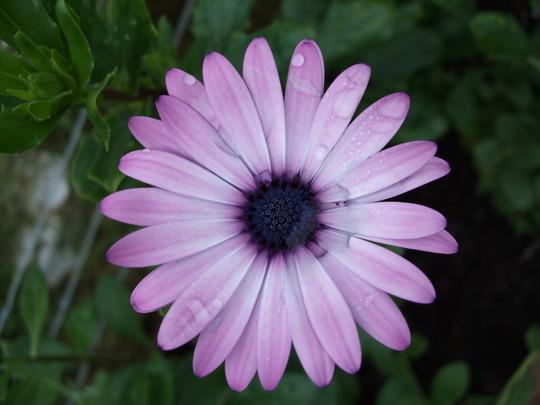 Osteospermum 'Summertime'