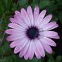 Osteospermum_summertime_