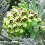 Euphorbia_wulfenii