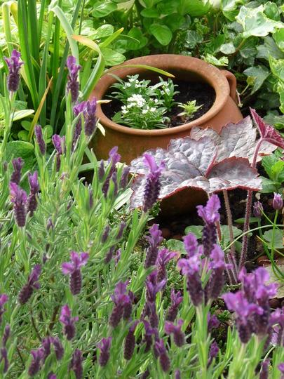 Lavendula Stoechas   Regal Splendour (Lavandula stoechas (French lavender))