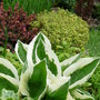Hosta and Lemon Scented Thyme (Thymus pulegioides (Lemon-scented thyme))
