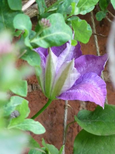 Purple Clematis behind the Honeysuckle (Clematis jackmanii)