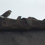 Sparrows_waiting_to_be_fed