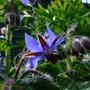 Borage (Borago officinalis (Borage))