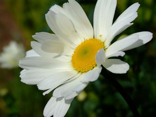 Shasta daisy (Leucanthemum vulgare)