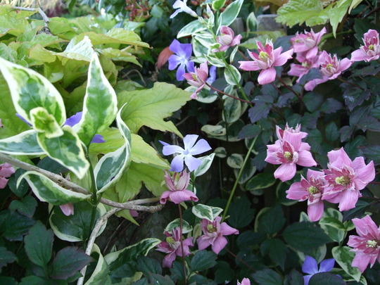 Clematis montana 'Broughton Star' and friends.