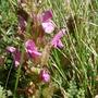 A garden flower photo (Pedicularis silvatica)