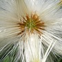 A garden flower photo (Tussilago farfara (Asss Foot))