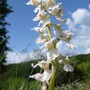A garden flower photo (Orchis mascula (Dead Mans Fingers))