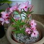 Adenium obesum 'Ice Pink'  - 'Ice Pink' Desert Rose (Adenium obesum 'Ice Pink'  - 'Ice Pink' Desert Rose)