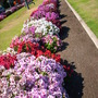 Common Geraniums - Everblooming (Common Geraniums - Everblooming)