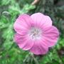 Geranium orientalitibeticum - 2009 (Geranium orientalitibeticum)